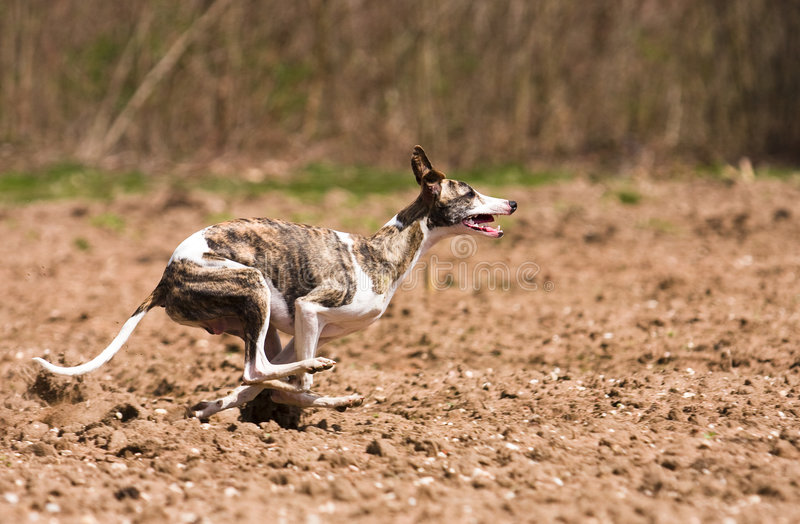 Whippet Jagd stockfotos