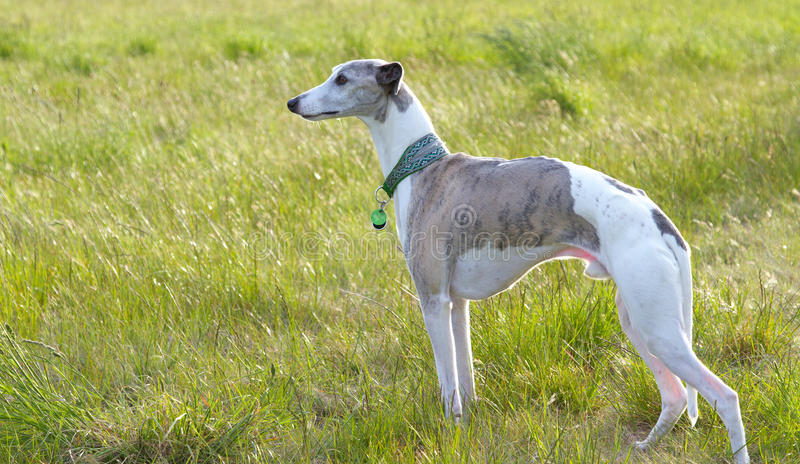 Download Whippet in meadow stock image. Image of green, purebred - 16906541