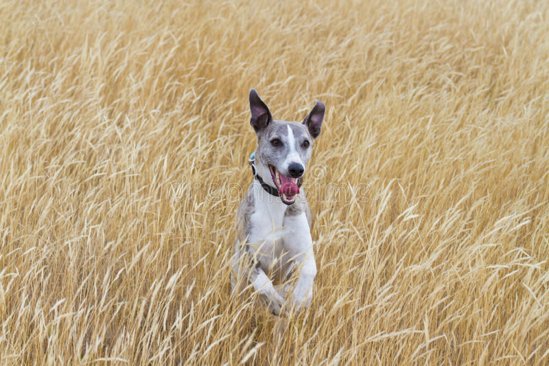 Download Whippet In Meadow Royalty Free Stock Photo - Image: 23990735