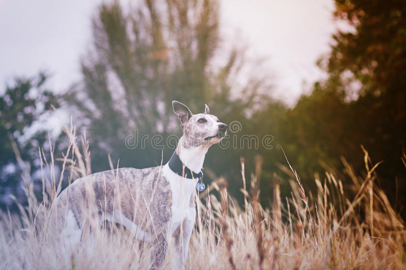 Download Whippet in meadow stock image. Image of cute, greyhound - 43068899