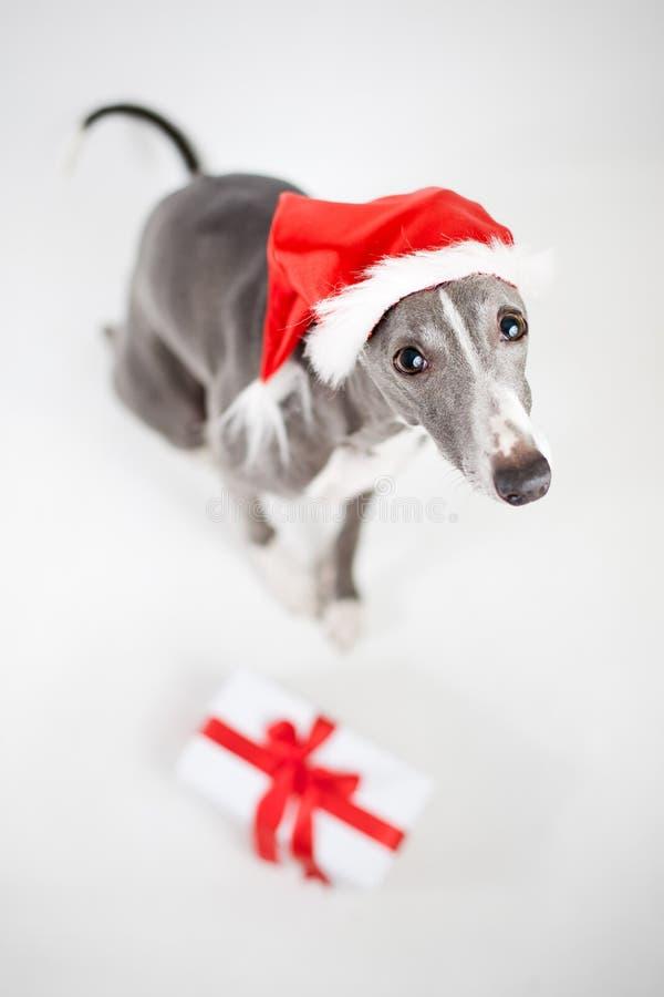 Whippet mit Sankt-Hut- und Weihnachtsgeschenk stockfotografie