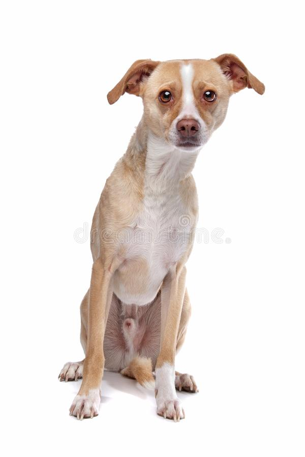 Whippet mixed breed dog royalty free stock photography