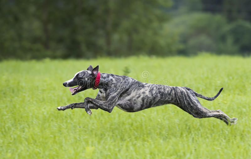 Whippet pies biega zdjęcia stock