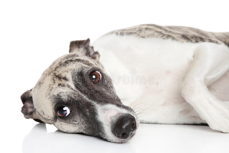 Whippet psi odpoczywać na białym tle zdjęcia royalty free