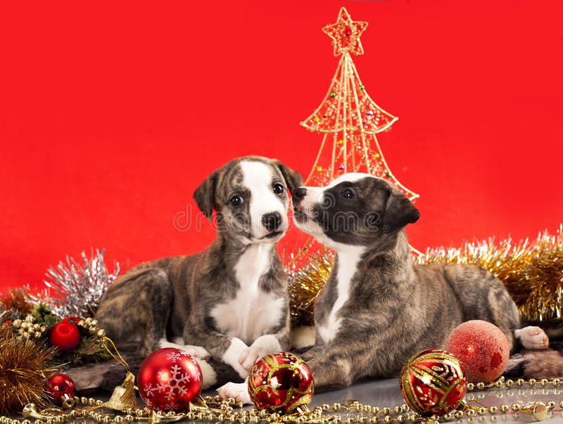 Download Whippet puppies stock photo. Image of collar, puppy, ball - 22226370