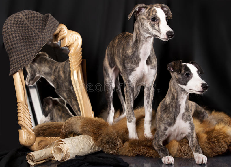 Download Whippet puppies stock image. Image of studio, purebred - 22930015