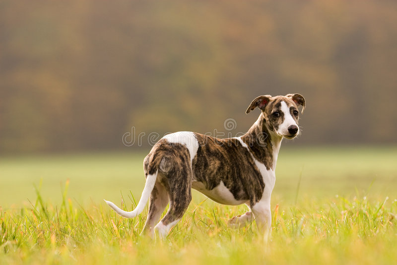 Download Whippet puppy stock photo. Image of furry, green, outside - 4884098