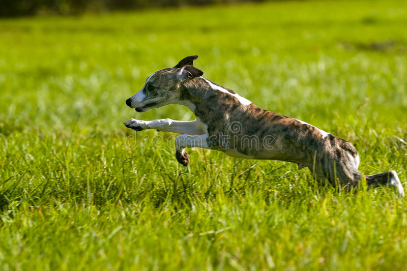 Whippet puppy