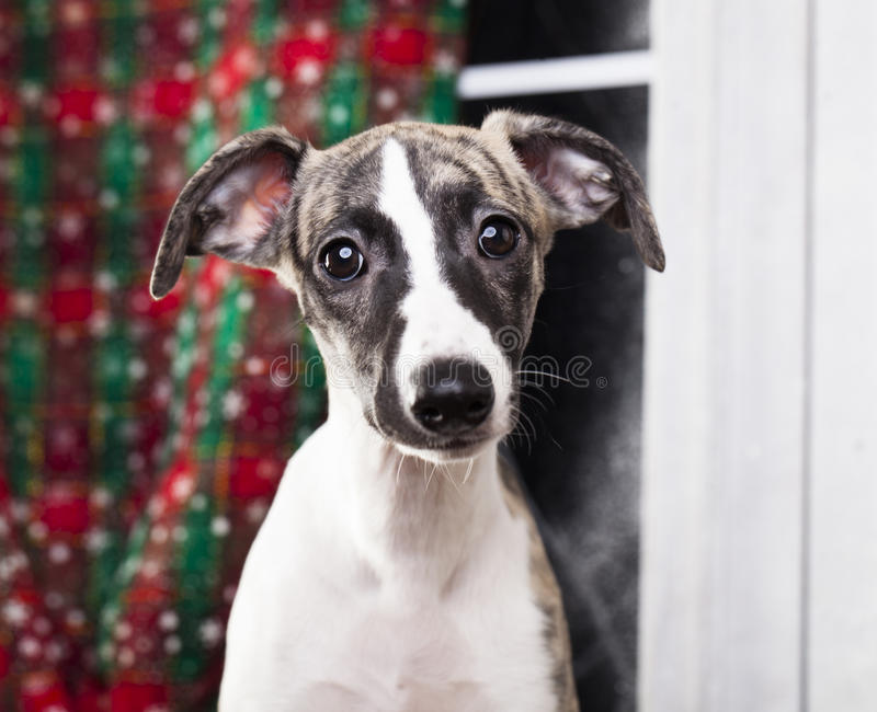 Greyhound In Christmas Costume Stock Photo Image Of Eyes