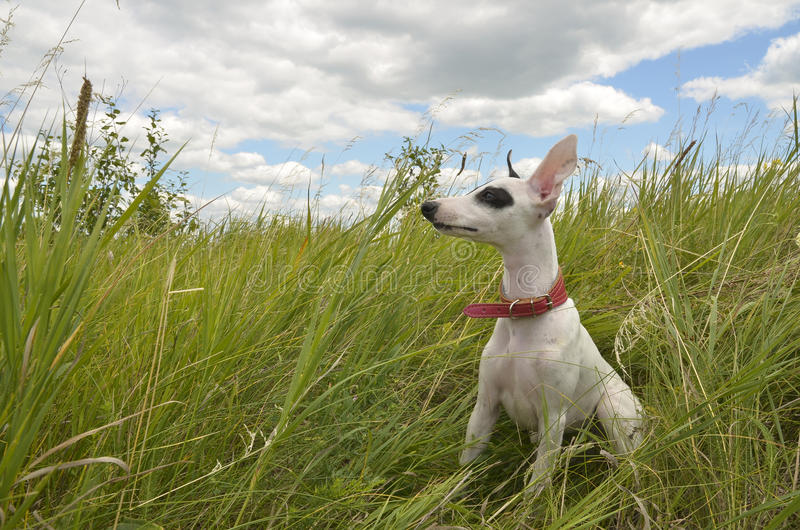 Whippet puppy. Sitting on the green grass. Color white and black, big ears, an old English hunting breed. In the background is a beautiful cloudy sky stock images
