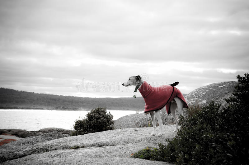 Download Whippet in red coat stock image. Image of high, beautiful - 17103297