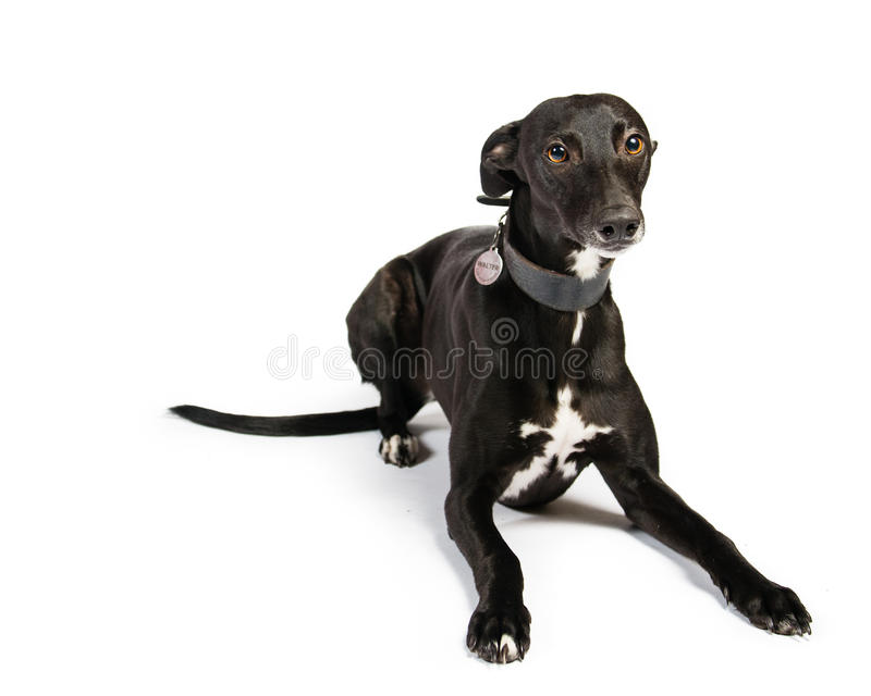 Whippet royalty free stock image