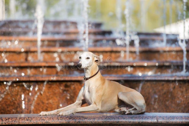 Whippethond die door de fontein liggen royalty-vrije stock afbeeldingen