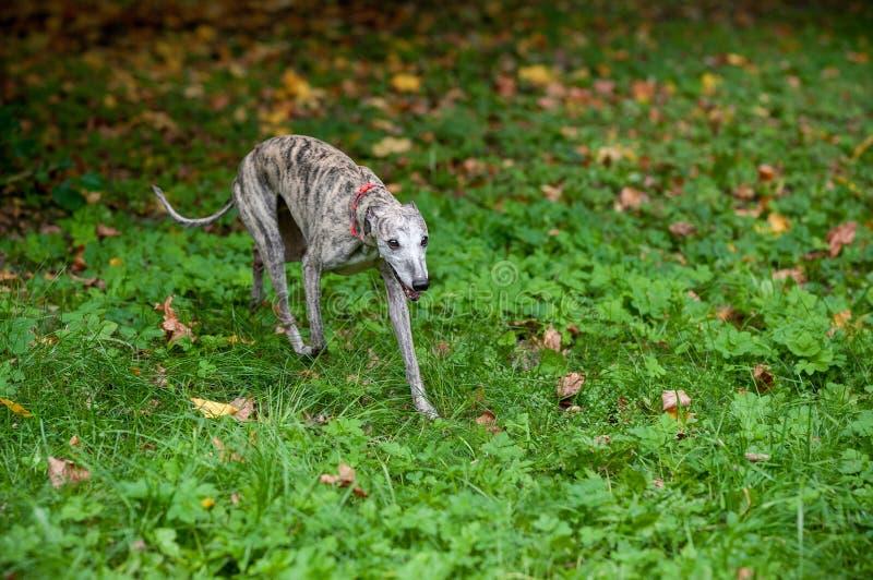 Whippethond die op het Gras lopen royalty-vrije stock afbeelding