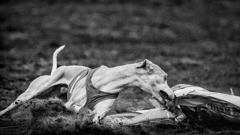 Whippethund, der in das Feld läuft stockfoto