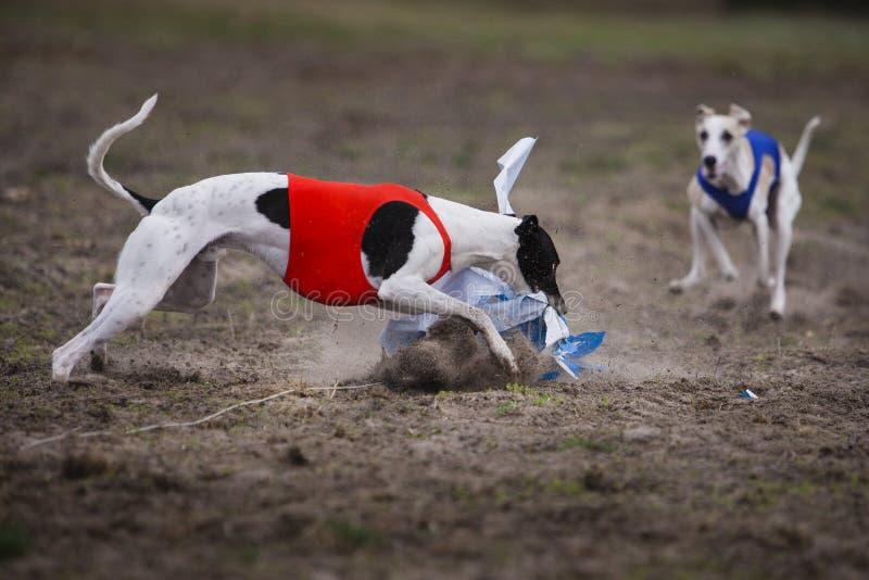 Whippethund, der in das Feld läuft stockbilder