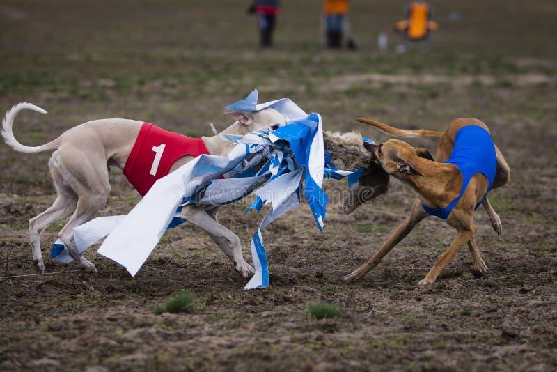 Whippethund, der in das Feld läuft lizenzfreies stockfoto