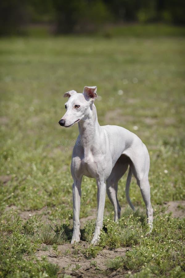 Whippethund i ett fält vit ull royaltyfri foto