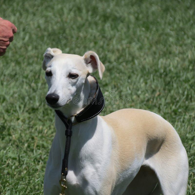 Whippethund i fältet royaltyfri fotografi