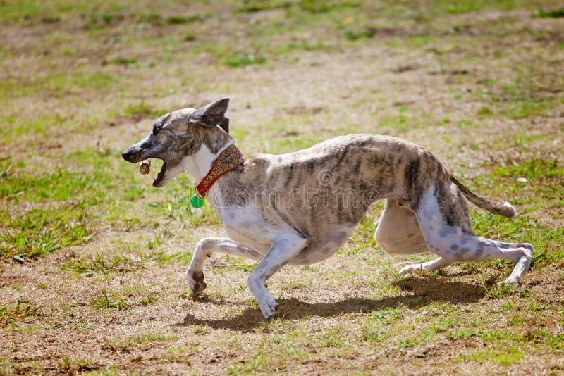 Whippethund med pinnen royaltyfri fotografi