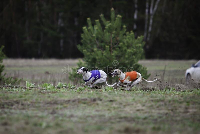 Whippethundspring i fältet royaltyfri foto