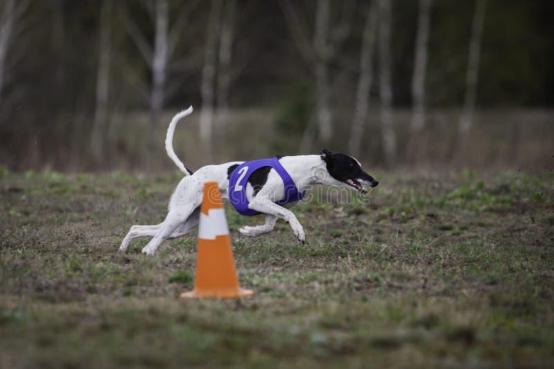 Whippethundspring i fältet royaltyfria foton