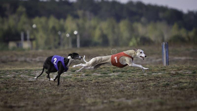 Whippethundspring Jaga, passion och hastighet royaltyfri foto