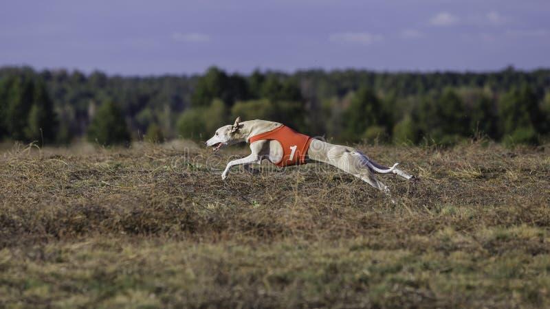 Whippethundspring Jaga, passion och hastighet arkivfoto