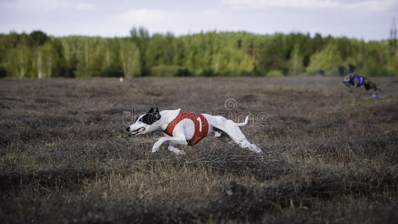 Whippethundspring Jaga, passion och hastighet arkivbilder