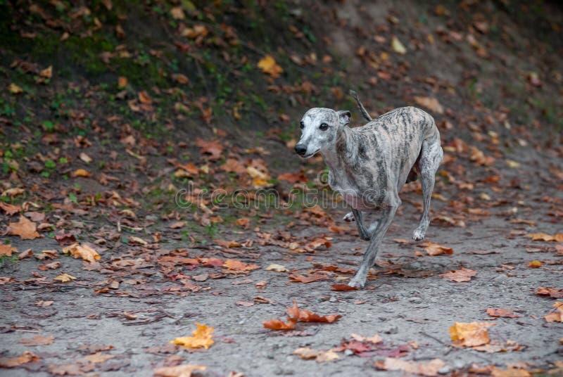 Whippethundspring på banan höstsidor i bakgrund arkivfoto