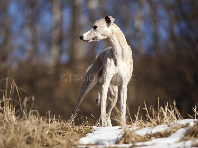 Whippetportret royalty-vrije stock afbeelding