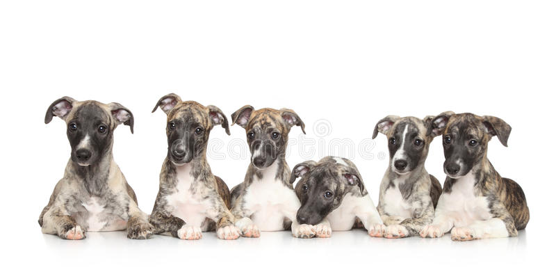 Whippetpuppy royalty-vrije stock foto's
