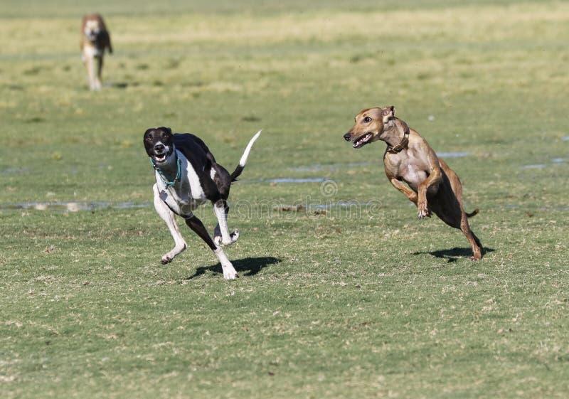 Whippets bieg przy parkiem zdjęcie stock