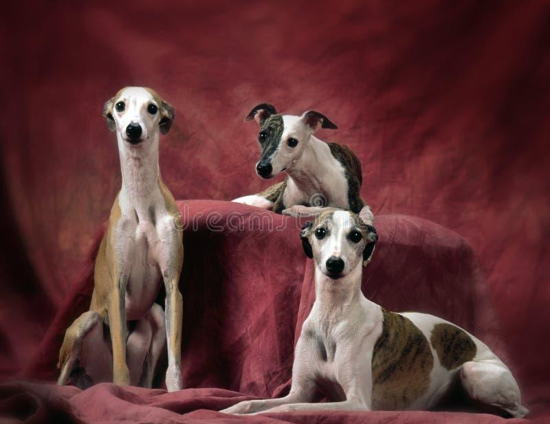3 whippets psa zdjęcie stock