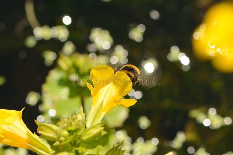 Whirring wings of bumble bee. On mimulus flower against bokeh background royalty free stock images