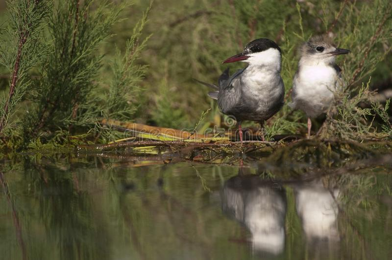 Whiskered tern - Chlidonias hybridus adult with pups and reflection. In the water stock photography