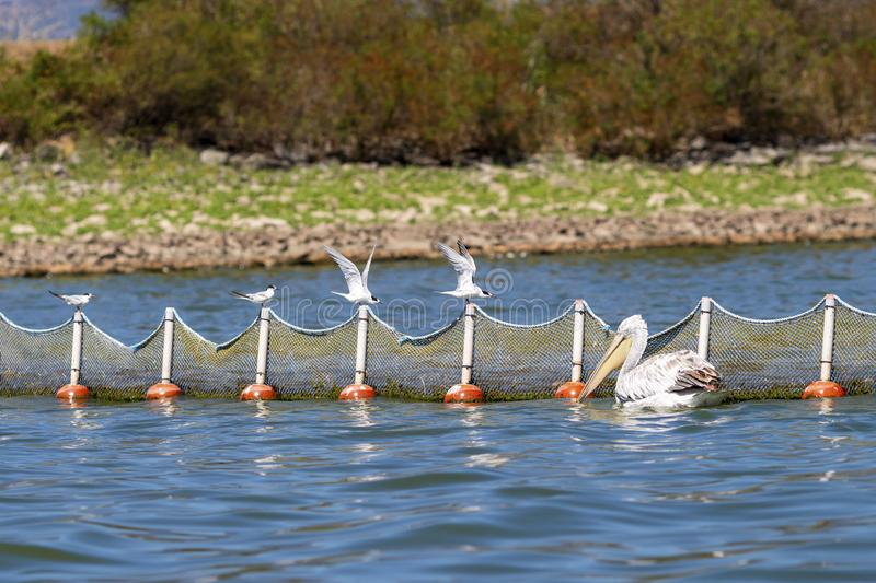 Whiskered terns ready to take off from a fishing net at Kerkini Lake, Greece royalty free stock image