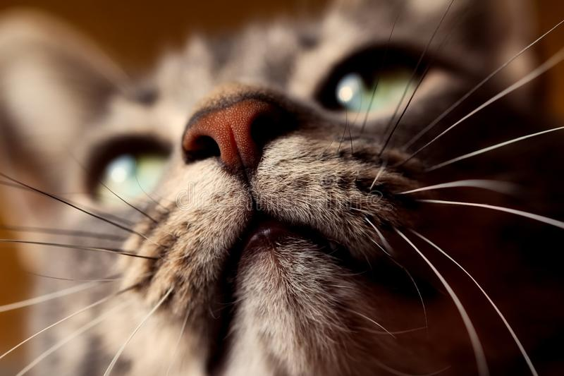 Whiskers, Cat, Nose, Close Up stock photography