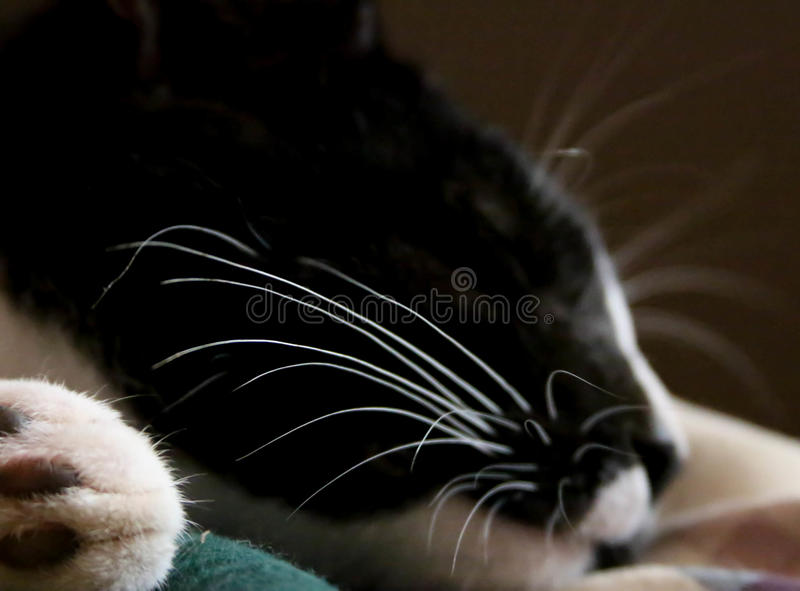 Whiskers of a domestic cat sleeping. This image is a restful slumber for a domestic cat. The white whiskers pop from the dramatic black coat of the sleeping cat royalty free stock photo