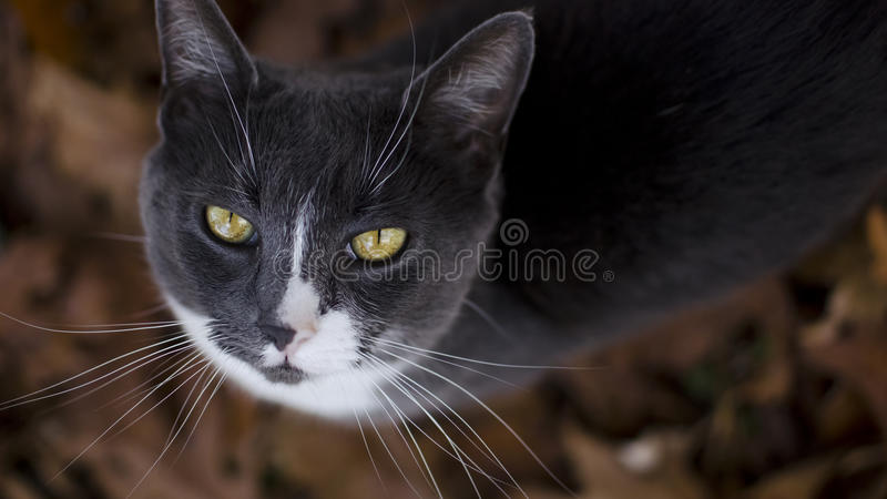 Download Whiskers And Yellow Eyes Royalty Free Stock Photo - Image: 22337435