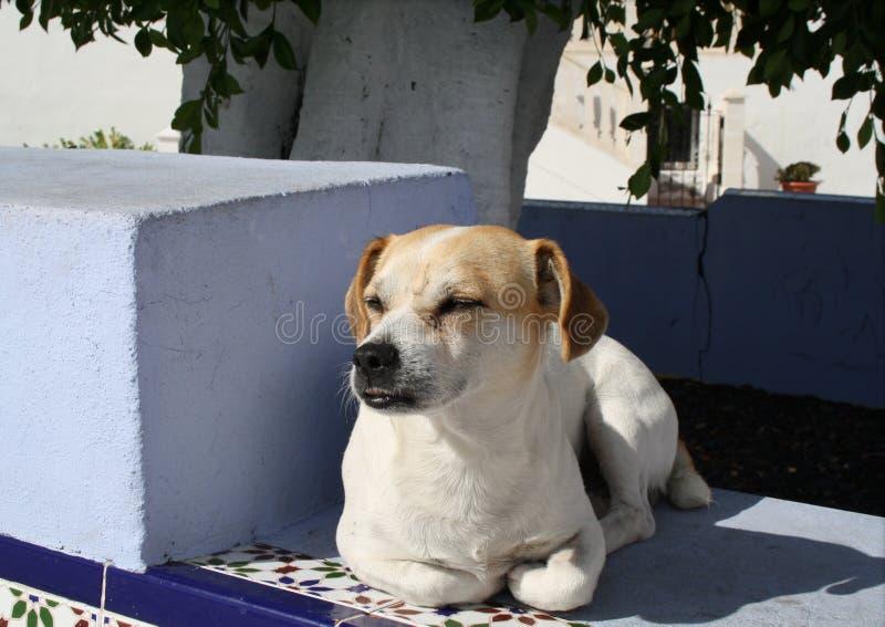 Whiskey, le chien vivant libre des Ordonnateurs nationaux de Puerto image libre de droits
