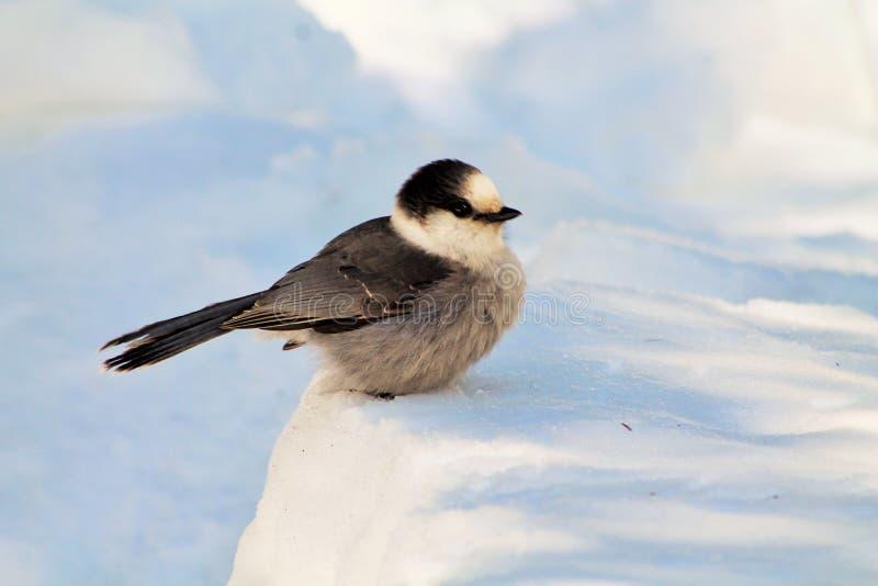 Whisky Jack Bird Sitting Quietly i snö royaltyfria foton