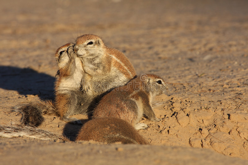 Download Whisper stock photo. Image of cute, animal, wild, whisper - 5323222
