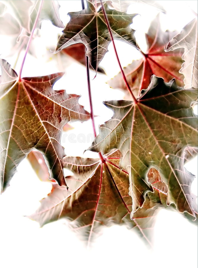 Whispering. Green leaves turning to red as summer passes, and autumn is near stock image