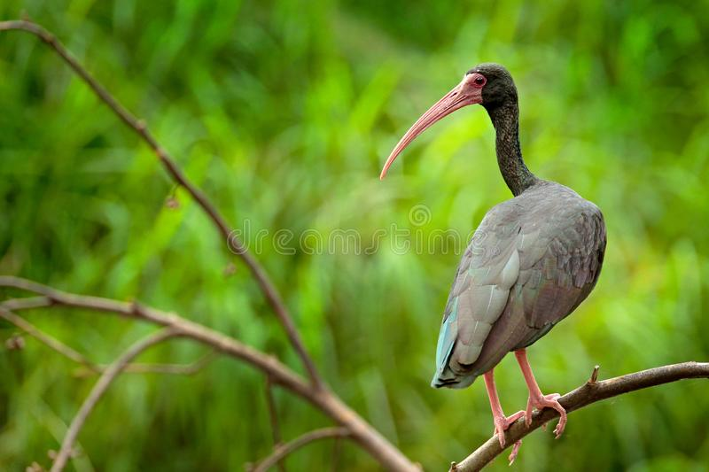 Whispering Ibis, Phimosus infuscatus, dark bird sitting on the branch in nature habitat, Santuario de Fauna, Colombia. black bird. With red bill in the nature stock image