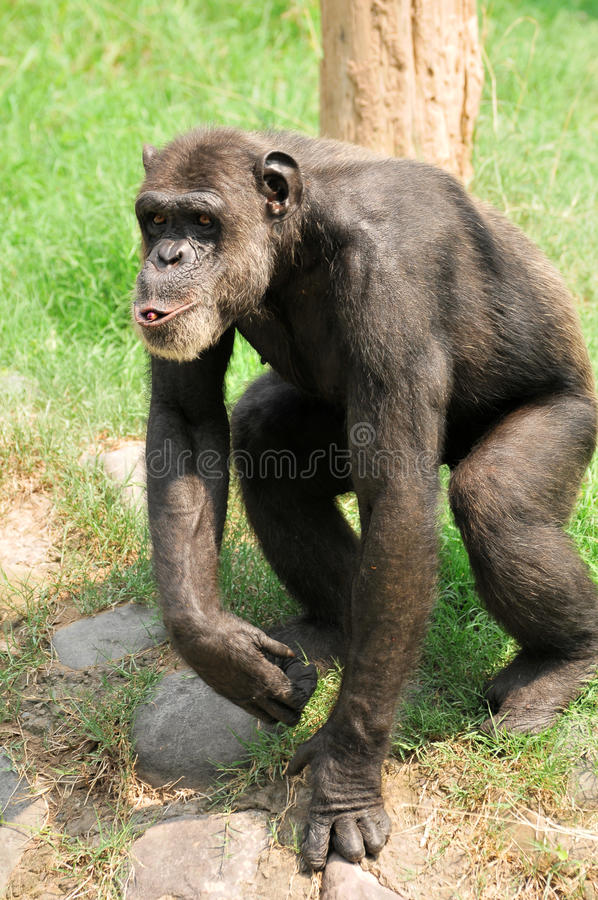 Download Whistling chimpanzee stock photo. Image of hairy, hiding - 10206506