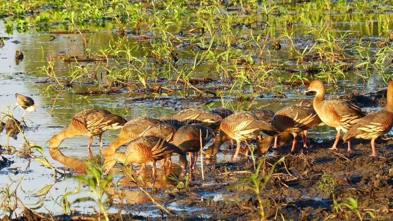 Whistling Ducks Kakadu Australia royalty free stock photos