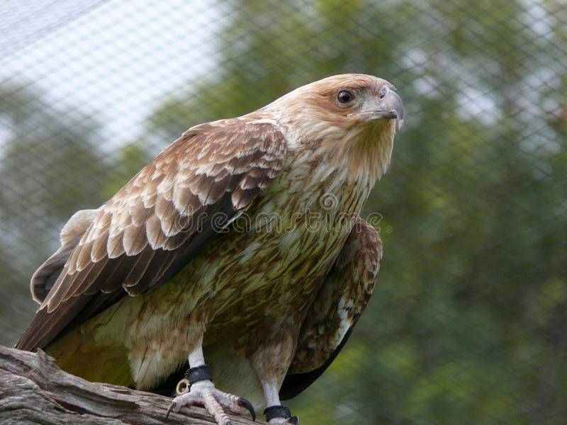Whistling kite stock photos