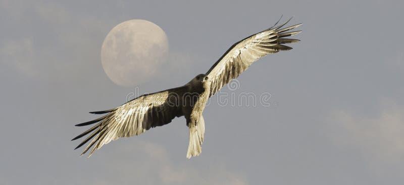 Whistling Kite bird in flight stock photos