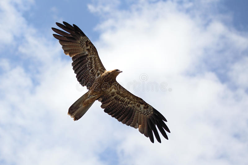 Whistling Kite (Haliastur sphenurus) stock photo